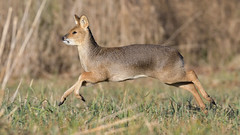 Chinese Water Deer (image 2 of 3) (Full Moon Images) Tags: woodwalton fen greatfen bcn wildlife trust nnr national nature reserve cambridgeshire animal mammal chinese water deer running gallop