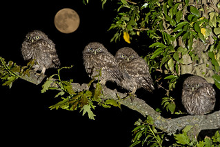 Family of Little Owl chicks (Athene noctua)