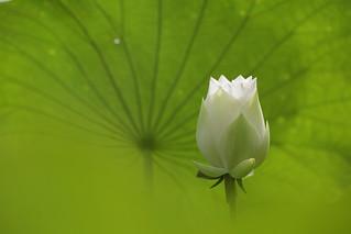 lotus leaf...