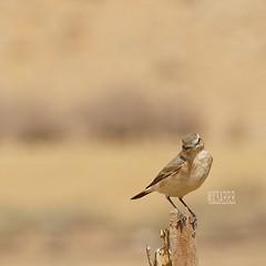 #colorful #hdr #nature #petsandanimals #photography #bird #birds #  # # # # #PicsArt # # # #camera #sonyalpha #sony #a57 #ksa #saudi_arabia #saudiarabia # # #saudi (photography AbdullahAlSaeed) Tags: camera bird nature birds photography colorful sony saudi saudiarabia hdr ksa a57 petsandanimals      sonyalpha     picsart