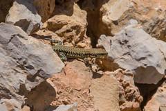 20148003.jpg (katyarud) Tags: animals israel  hermon     lacertilia  lacertalaevis  lebanonlizard