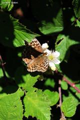 Butterfly & Blackberry flower (PurpleTita) Tags: trees italy mountain flower nature alberi canon butterfly torino italia estate blackberry natura piemonte fiore piante turin montagna piedmont farfalla insetto vallidilanzo eos1100d