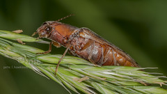 _IMG1886 Click Beetle - Stenagostus rhombeus (Pete.L .Hawkins Photography) Tags: beetle click rhombeus stenagostus stenagostusrhombeus