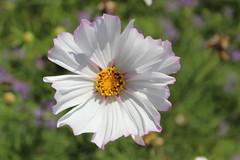 IMG_4595 (cheryl's pix) Tags: california flowers flower berkeley botanicgarden botanicalgardens botanicalgarden botanicgardens berkeleyca berkeleybotanicalgarden ucbotanicalgarden universityofcaliforniabotanicalgarden universityofcaliforniabotanicalgardenatberkeley