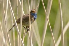 DSC_6653 blauwborst (Luscinia svecica)