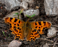 Comma (Chris@184) Tags: comma polygoniacalbum canonspeedlite550ex cinxia canoneos40d chris184 cotgraveforest sigma180mmf35exdg top20butterflyphotos sigma180mmf35exdgapomacro