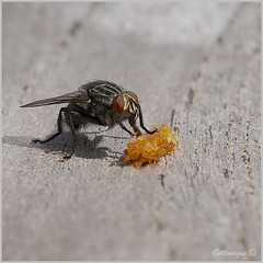 Photo of COMMON FLY by Philip Gott (3)