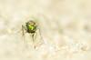eyes of emerald green (margreetz) Tags: macro netherlands fly sand pentax nederland greeneyes k5 maasduinen kenkouniplustube25 fa100mmmacro slankpootvlieg dolichopodidaesp