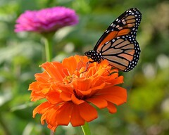 And now for some color (KsCattails) Tags: pink orange black flower macro butterfly insect nikon colorful bright blossom bokeh monarch kansas zinnia overlandparkarboretum d3100 kscattails