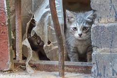 Kittens in Abandonment (ashleydiener) Tags: cats abandoned cat kitten michigan detroit kittens abandonedbuilding detroitmichigan