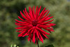 Punane daalia (Jaan Keinaste) Tags: pentax k3 pentaxk3 eesti estonia lill flover daalia punane red