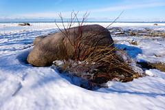 Along Miramichi Bay Shores (Craig James White) Tags: canada ontario brucecounty saugeenshores portelgin lakehuron miramichibay winter snow