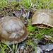Three-toed Box Turtle, Pair