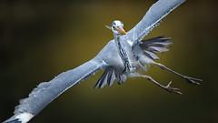 Schräglage (ellen-ow) Tags: fliegend graureiher reiher wirbeltiere zoo grosevögel schreitvogel vögel vogel bird heron nikond4 ellenow tier animal brilliant