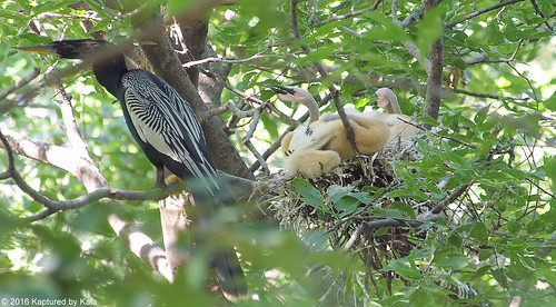 Papa Anhinga With A Nest Full Of...Aliens