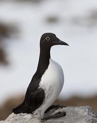 IMG_7332 (bente amundsen) Tags: finnmark hornøya vardø alke fuglefjell fyrlykt jaktfalk krykkje lomvi lundefugl skarv toppskarv