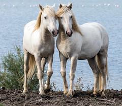 2016 Two Camargue Stallions (28) (maskirovka77) Tags: saintlaurentdaigouze languedocroussillonmidipyrén france languedocroussillonmidipyrénées fr stallion stallions whitehorse whitehorses whitestallion whitestallions createaway photoworkshop