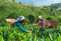 Tea gardeners (gregoryallyawarjri) Tags: tea garden farm cultivate grow green lady women working life hardwork meghalaya shillong northeastindia