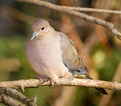 Wishing for peace in 2017 (tresed47) Tags: 2016 201611nov 20161121chestercountybirds birds canon7d chestercounty content dove folder home pennsylvania peterscamera petersphotos places takenby us