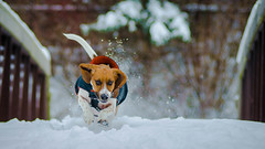 LouBrianWright - Running man (danielwright88) Tags: loubrian canada basset hound dog snow winter running