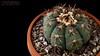 Echinocactus horizonthalonius v. moelleri 2 (Nyxtofulakas) Tags: echinocactus horizonthalonius v moelleri cactus plant succulent spines cactaceae blue barrel devils head nature