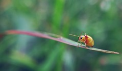 Salute (Mobile Macrographer) Tags: mobile macrographer macro insects smartphone photography nature outdoor animal bugs bokeh green orange respect salute ali g bali ubud garden ngc cc