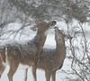 Tastes so good! (Mawrter) Tags: deer snow azalea twoanimals two animal animals snowy afternoon outside snowfall taste tastes enjoying enjoy enjoyment interaction nature wild wildlife nj newjersey canon soft softlighting eat eating nibble together togetherness specanimal outdoor specanimalphotooftheday