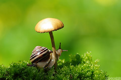Shroom Dancer (Vie Lipowski) Tags: snail detritivore mushroom shroom toadstool dancer wildlife nature macro