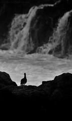 Fragility and strength (Beatriz-c) Tags: ocean sea oceano mar strength fuerza fragility fragilidad bw bn blanco negro black white grey monochrome gris monocromo ave bird storm tormenta