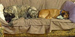IMG_8049 (glaukos) Tags: dog rhodesianridgeback englishmastiff