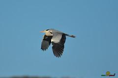 A-LUR_5628 (ornessina) Tags: trasimeno umbria byrd uccelli aironi cormorani toscana va orcia