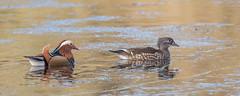 Mr & Mrs Mandarin Ducks (Tris Enticknap) Tags: uk hampshire nikkor300mmf4epfedvrlens nikond750 freshwaterducks mandarinduck aixgalericulata newforest