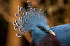 Crowned Pigeon (Tony Shertila) Tags: 20170103134409 england gbr unitedkingdom uptonbychester wervin geo:lat=5322679610 geo:lon=288210869 geotagged europe britain northwestengland chester chesterzoo animal cheshire bird beak feathers