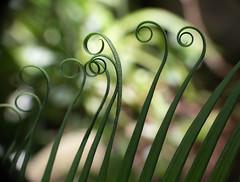 Coils (LSydney) Tags: fern frond coils spirals bokeh silhouette macro