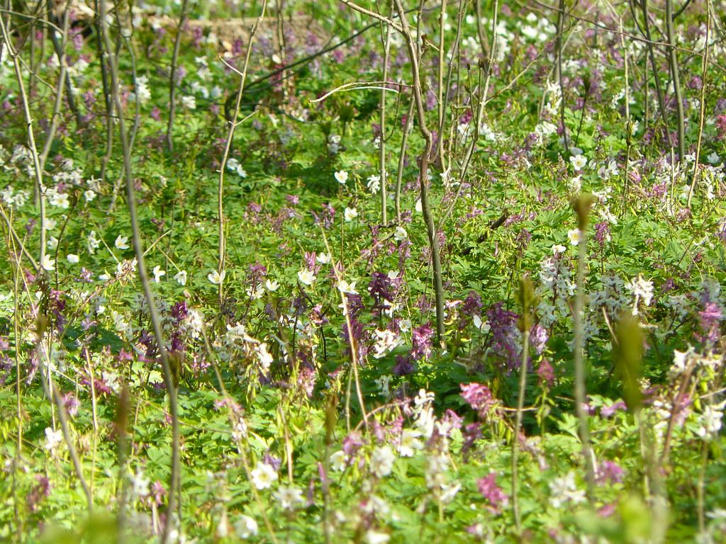 Corydalis cava- Hohler Lerchensporn2