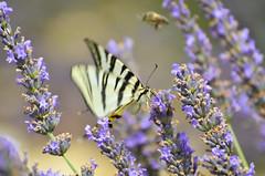 Lavande et Flambé (Doriane Boilly) Tags: insecte lavande bleu nature provence soleil été