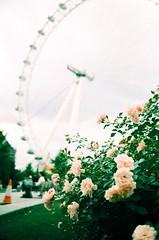 Roses and the London Eye (oh it's amanda) Tags: ricohff1 london londonengland 35mm xpro crossprocessed fujisensia400 expiredfilm expirationdateunknown londoneye riverthames southbank