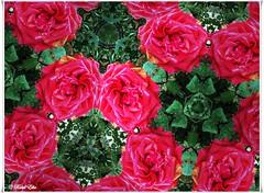 Jugando con una rosa (ℝakel_ℰlke ﴾͡๏̯͡๏﴿) Tags: photobooth rakel raquel elke rakelelke raquelelke rakelmurcia regióndemurcia murcianorte espinardo murcia españa spain espagne europa europe ipad air flower fleur fiore blumen кветка květina cvjetni kvetina floro lill lore kukka blodau λουλούδι פרח फूल paj bloem virág bunga blóm フラワー zieds žiedas цвет kwiat floare цветок blomma çiçek квітка hoa