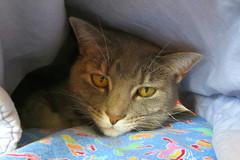 Millie 30 January 2017 3374Ri 4x6 (edgarandron - Busy!) Tags: cat cats kitty kitties tabby tabbies cute feline millie graytabby bestofcats