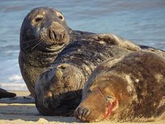 After The Storm (mr_snipsnap) Tags: grey seals sea coast wildlife mammal fauna beach sand norfolk nature