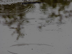 Beetlejuice (Steve Taylor (Photography)) Tags: insect beetle fly dark water puddle newzealand nz southisland canterbury christchurch hagleypark curve circle ripple perspective stormy beetlejuice