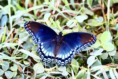 red-spotted purple (jimbop22001) Tags: