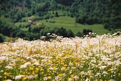 Summer (denismartin) Tags: summer white france flower lorraine vosges moselle vogesen thillot denismartin menilthillot