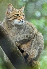 europese wilde kat duisburg JN6A0508 (j.a.kok) Tags: wildcat duisburg wildekat felissilvestrissilvestris europesewildekat europeanwildcat