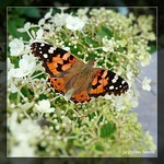 "butterfly on hydrangea paniculata bobo <a style=""margin-left:10px; font-size:0.8em;"" href=""http://www.flickr.com/photos/117161355@N07/19877380152/"" target=""_blank"">@flickr</a>"