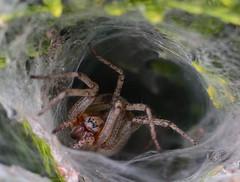 DSC_0809.jpg (DN Photos) Tags: 35mm nikon 8 f1 vert insecte araigne toile haie tuyas d7100