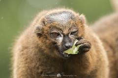 Lemur (Thomas Winstone) Tags: uk trees wild summer sky sun nature southwales canon wildlife air bbc lemur canon300mmf28 goldwildlife distinguishedpictures canon7dmark2 canon7dmk2postcardsphotographymammalmammalslemurredbellied
