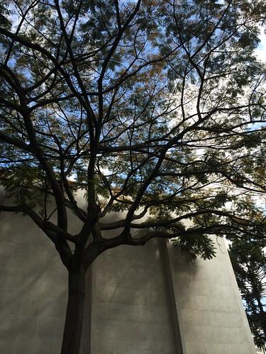 Árvore do Teatro Guaíra