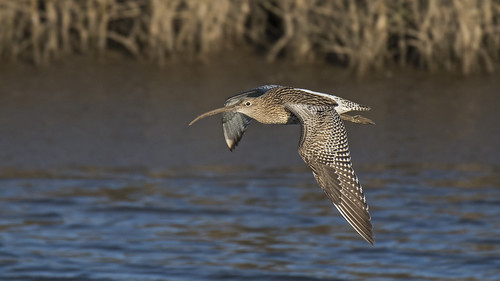 _DSC8576.....CURLEW