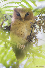 Serendib Scops Owl, a must-see if you visit #SriLanka #Birding (yerasdy) Tags: owls srilanka birding birds endemics